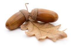 Oak acorns with leaf. Stock Photography