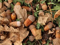 Oak acorns and leaves on the ground Stock Photos