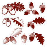 Oak acorns and leaves vector set. Acorn oak, leaf oak, nature plant oak acorn, design nut acorn illustration Stock Illustration