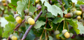 Oak with with acorns Royalty Free Stock Photos