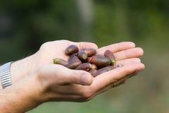 Oak acorns in palms Royalty Free Stock Photo