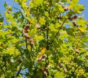 Oak acorns Stock Images