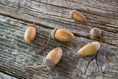 Oak acorns Royalty Free Stock Photography