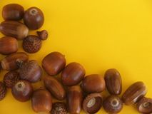 Oak acorns,  on yellow background Stock Images