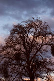 Oak Against Sunset Royalty Free Stock Photography