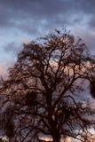 Oak Against Sunset. Colorful sunset and large oak tree royalty free stock photography