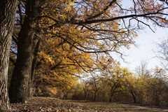 Oak alley in autumn. Landscape old oak alley in autumn colors Royalty Free Stock Images