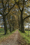 Oak alley with autumn leaves Royalty Free Stock Photo
