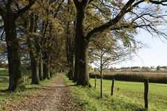 Oak alley with autumn leaves Stock Photos