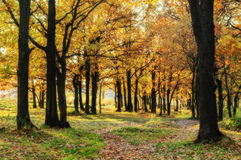 Oak alley in autumn Stock Photo