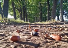 Oak alley in the autumn warm day, acorns on the ground stock photos