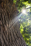 Oak. Ancient tree with thick bark in a sunny day. To this oak four eyelids, grow in the territory of Russia in the city of Astrakhan.Ancient tree with thick bark Royalty Free Stock Image