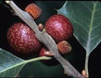 Oak Apple Gall Royalty Free Stock Photos