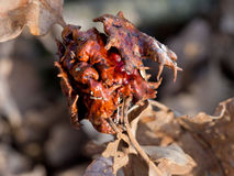 Oak-apple, gall. Nature detail. Closeup shot of unusual, deformed gall. Knobbly Royalty Free Stock Images
