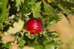 Oak apple Stock Images