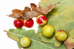 Oak apples on an oak tree Royalty Free Stock Images