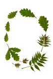 Oak and Ash. Oval arrangement of fresh oak and ash leaves against a white background. The old rhyme for forthcoming summer weather being Oak before ash in for a Stock Photo