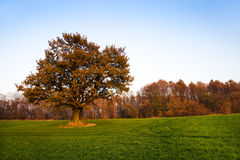 Oak (autumn). The oak covered with red leaves in an autumn season (an autumn season Stock Photos
