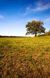 Oak. autumn Stock Photography