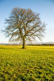 Oak in autumn with blue sky. In Germany Stock Images