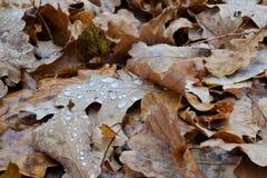 Oak autumn fallen leaves close-up with raindrops. Autumn background stock photo