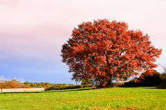 Oak in autumn and field with grass Royalty Free Stock Photos