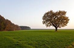Oak autumn ,  field Royalty Free Stock Photography