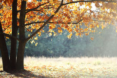 Oak and autumn glade Stock Images