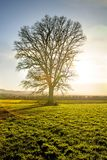 Oak in autumn. On a green meadow in Germany Royalty Free Stock Image