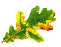 Oak autumn leaf Stock Photo