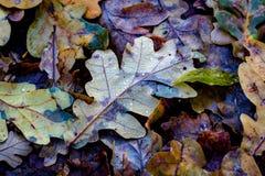 Oak autumn leafage Royalty Free Stock Photography