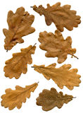Oak autumn leaves. With natural brown color. Front view Stock Image