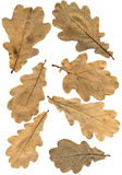 Oak autumn leaves. With natural brown color. Back view Stock Photography
