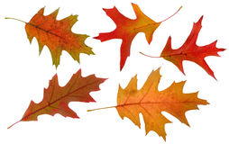 Oak autumn leaves Stock Photos