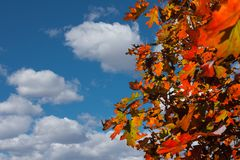 Oak  autumn leaves against a background Stock Image