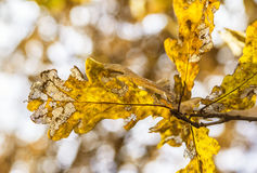 Oak autumn leaves Royalty Free Stock Image