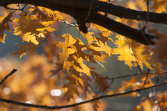 Oak autumn leaves Royalty Free Stock Photo