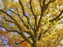 Oak autumn stock photo