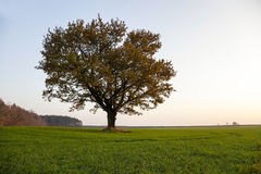 Oak autumn  season Royalty Free Stock Image