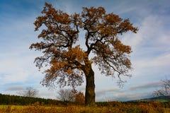 Oak Stock Photos