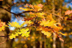 Oak autumnal leaves. Oak branch with autumnal coloration leaves Royalty Free Stock Photography