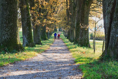 Oak avenue in autumn Stock Image