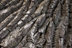 Oak Bark Royalty Free Stock Photography