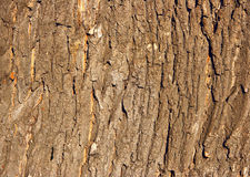 Oak Bark Royalty Free Stock Photo