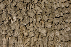 Oak Bark. Close up of the bark of an oak tree Royalty Free Stock Image
