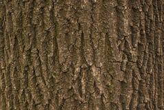 Oak bark. Close-up of oak bark texture Stock Photos