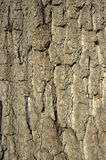 Oak bark background. Close up detail of an oak tree trunk Stock Image