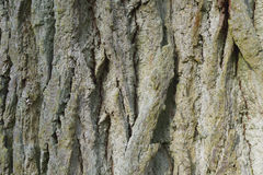 Oak Bark Background Royalty Free Stock Images