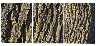 Oak bark Royalty Free Stock Image