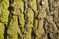 Oak bark close-up Royalty Free Stock Photo